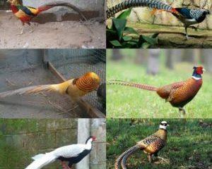 Jenis Ayam Pheasant