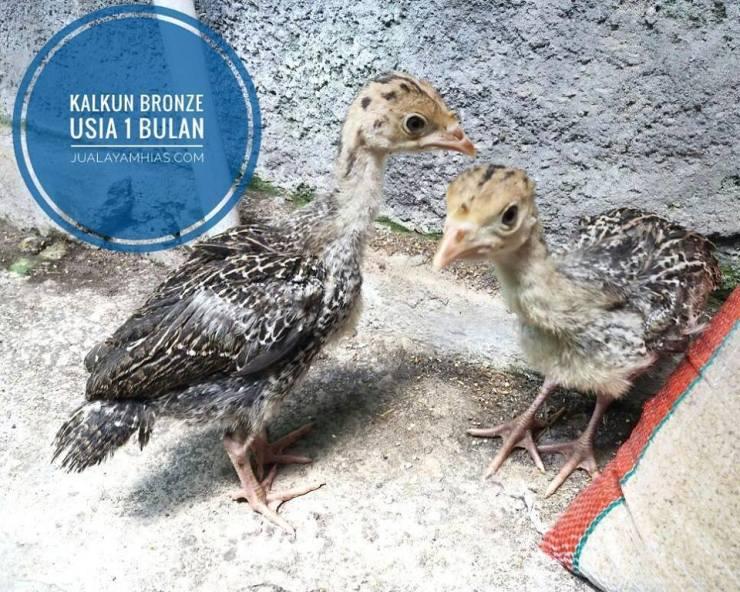 7000+ Gambar Ayam Dan Anak