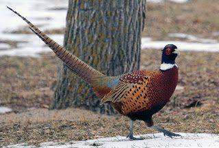 Ringneck Pheasant Harga Terbaru dari Bibit atau Anakan sampaiIndukan