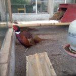 Ringneck Pheasant Dewasa