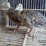 Ringneck Pheasant Usia 1,5 Bulan