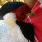 Silver Pheasant Dewasa