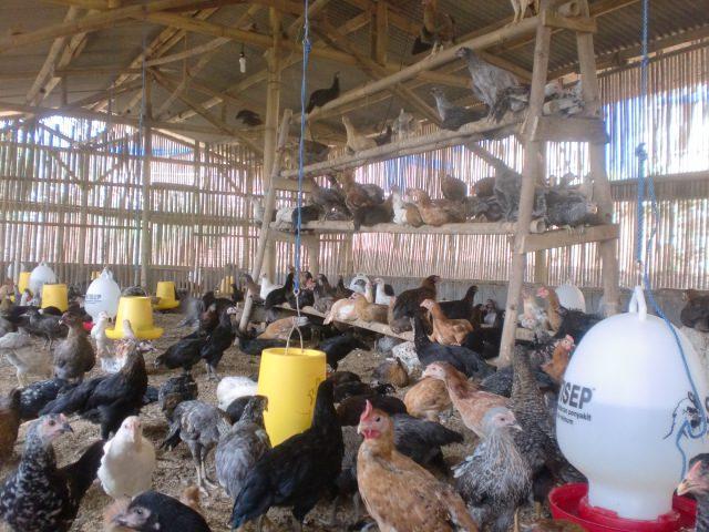 Beternak Ayam Kampung Super (JOPER) Dengan Sistem Semi ...