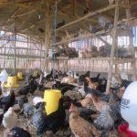 Beternak Ayam Kampung Super (JOPER) Dengan Sistem Semi Intensif
