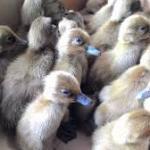 Analisa Peluang Usaha Beternak Bebek Petelur