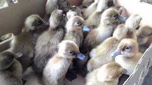 DOD Bebek Mojosari - 8 Poin Penting dalam Ternak Bebek Petelur Jenis Bebek Mojosari bagi Pemula