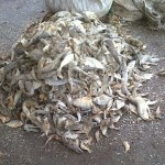 Ikan Runcah Pakan Alternatif Ternak Angsa