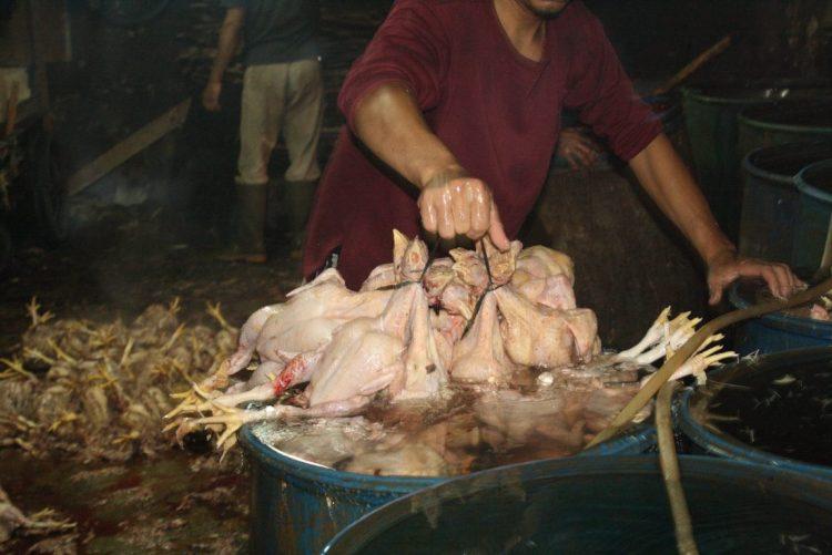 Limbah Pemotongan Ayam menjadi Pakan Alternatif Ternak Bebek