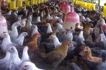Ayam Kampung Super termasuk jenis ayam pedaging yang saat ini sedang populer