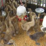 Beberapa Tips Dalam Membuat Formula Pakan Ternak Bebek Pedaging dan Petelur