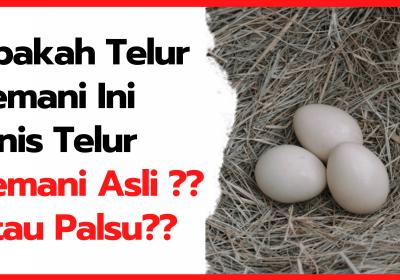 Apakah Telur Cemani Ini Jenis Telur Cemani Asli? Atau Palsu?