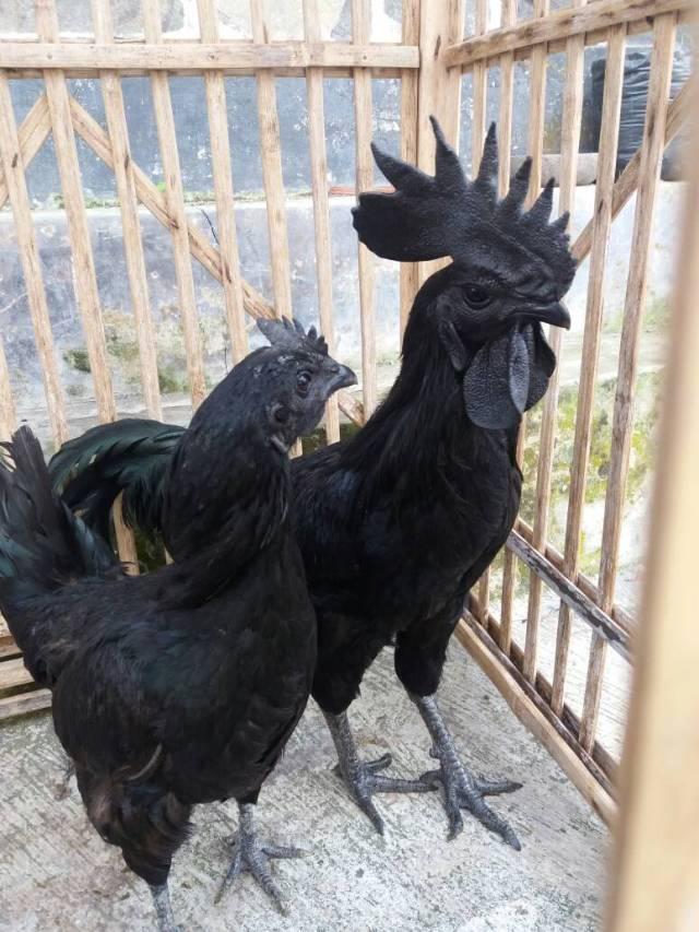 Sepasang ayam cemani usia dewasa yang di ternakan sebagai hobi | Sepasang cemani