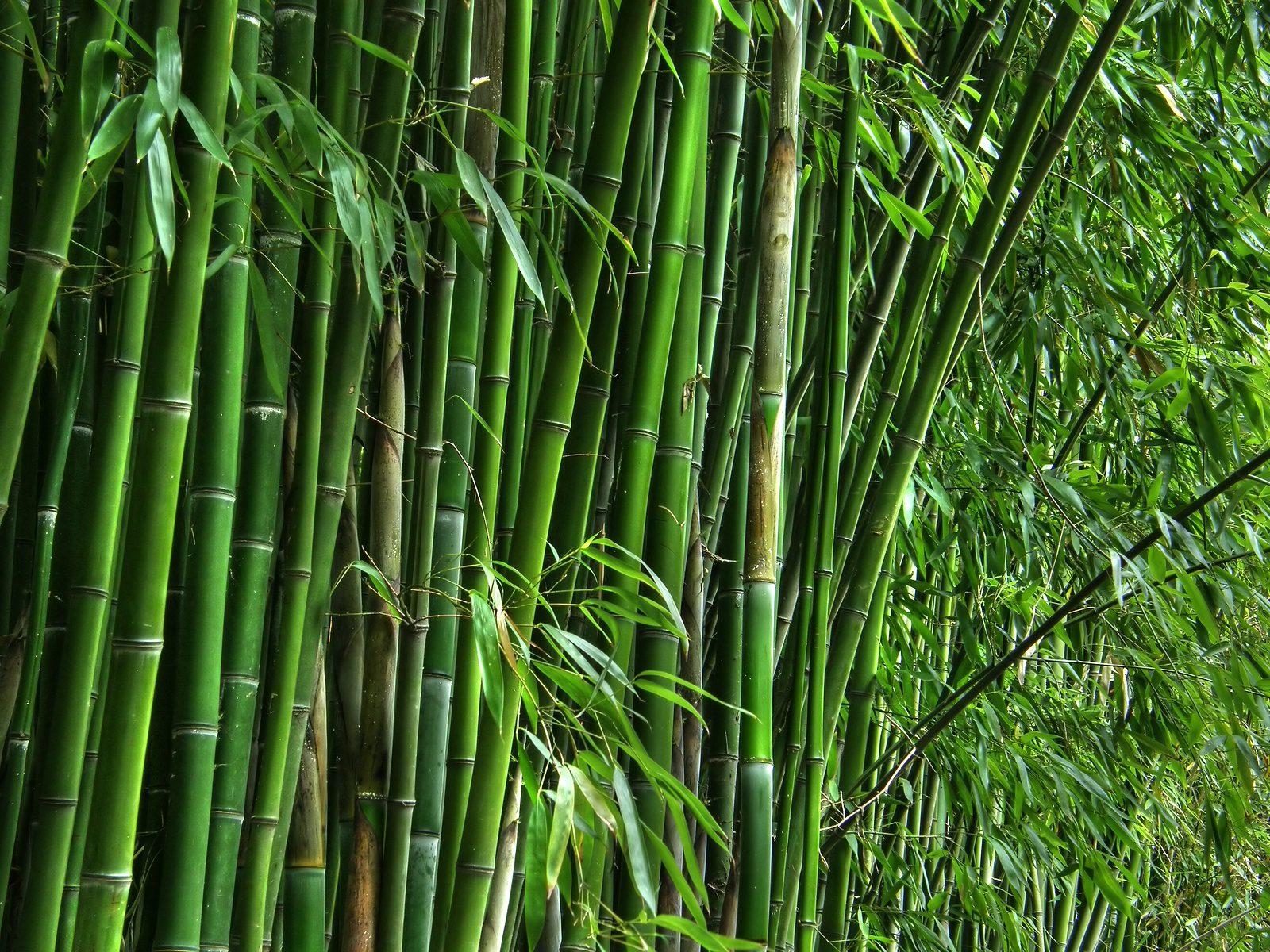 Bambu sebagai Bahan Baku Pembuatan kandang Bebek