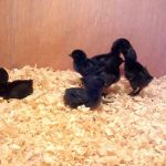 Good Quality Of Ayam Cemani Chicks