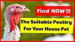 Alternative Poultry That Can Be Used As House Pet Find Various Kind Of Poultry Farming You Can Choose As A House Pet