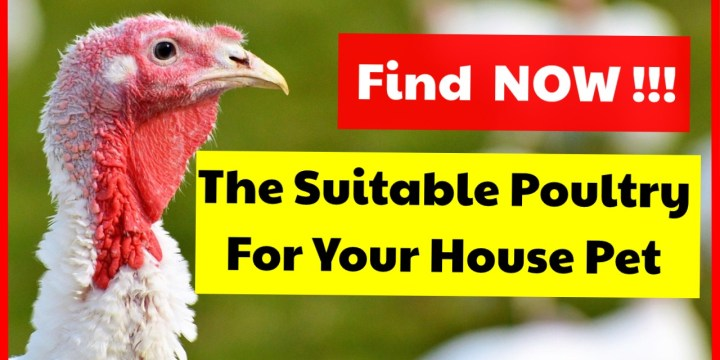 Alternative Poultry That Can Be Used As House Pet : Find Various Kind Of Poultry Farming You Can Choose As A House Pet