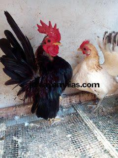 Desain Kandang Ayam Serama Sederhana Namun Sehat