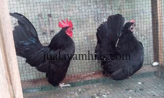 A Couple Of Serama Chicken