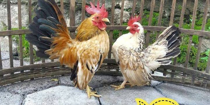 Malaysian Serama Bantam Chickens For Collection