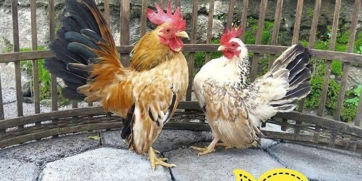Ayam Serama Indukan Siap Nelur