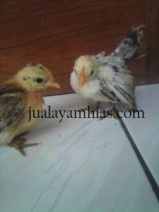 serama hens