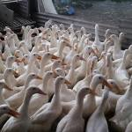 Bisnis Ternak Bebek Bukan Bisnis Musiman