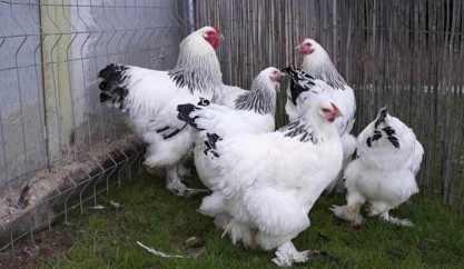 Ayam Brahma
