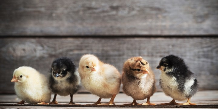 The Regulation and Rules For Keeping Chickens in The Backyard