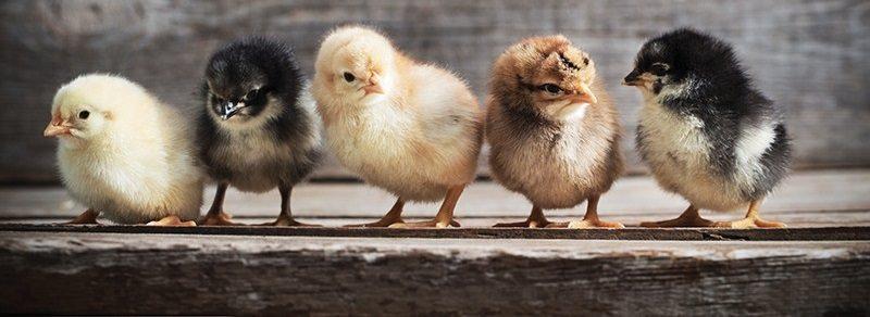 Cara Menentukan Ukuran Luas Kandang AyamKampung Super