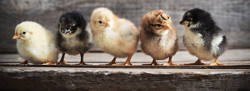 Harga Jual Terbaru DOC atau Bibit Ayam Kampung Super (JOPER) 2018