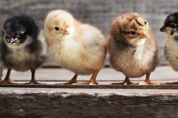 DOC atau Bibit Ayam Kampung Super - Jawa Super atau JOPER