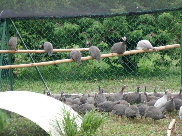 Ayam Mutiara dibudidayan bisa diambil dagingnya dan bisa dijadikan sebagai hewan hias
