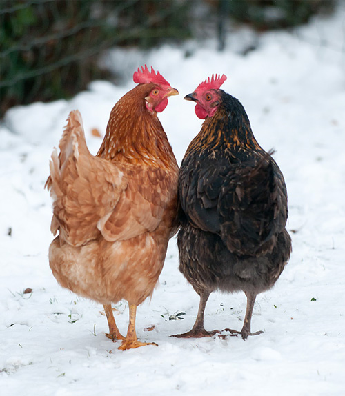 taking care of chickens during the winter