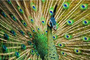 Burung Merak Hijau Indonesia
