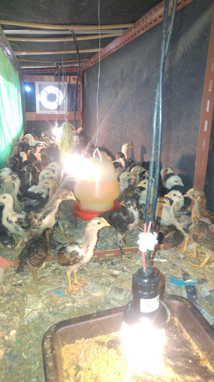 Ayam Kampung AKA