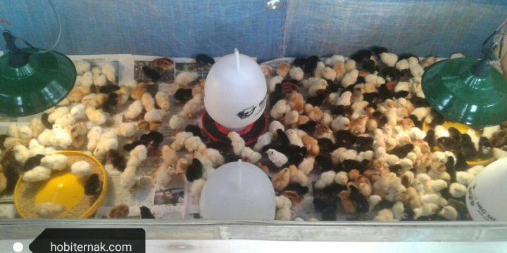 Mengetahui Berbagai Penyebab Ayam Kampung Super Mengalami Pertumbuhan yang Lambat