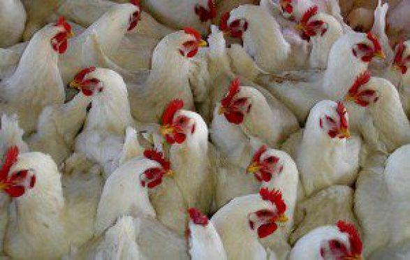 Ayam broiler memiliki kandungan kalsium dan fofsor yang bermanfaat untuk tubuh
