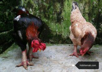cara ternak ayam dong tao