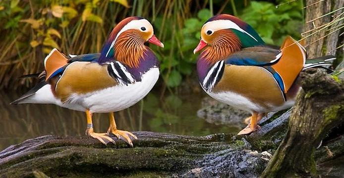 Berbagai Jenis Bebek Hias Indonesia Salah Satunya Bebek Mandarin