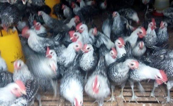 Ayam Arab Pejantan