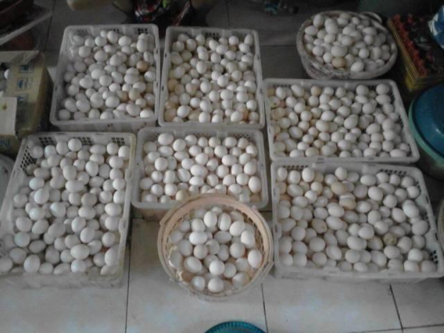 Telur Ayam Arab siap di Distribusikan 1
