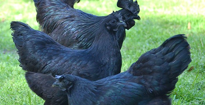 Black Chicken Breeds : The Most Beautiful And Extraordinary Black Chicken Breeds That You Can Easily Keep