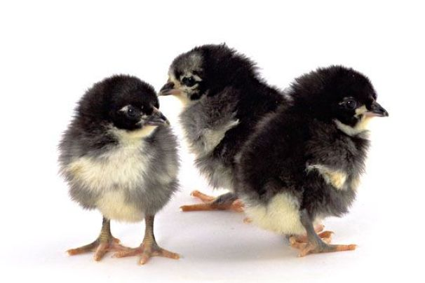 Black Jersey Giant Baby Chicken, this is come from America and their size is large as their name.