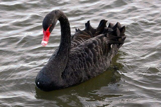 Begitu menawannya warna bulu pada angsa hitam atau Black Swan ini.