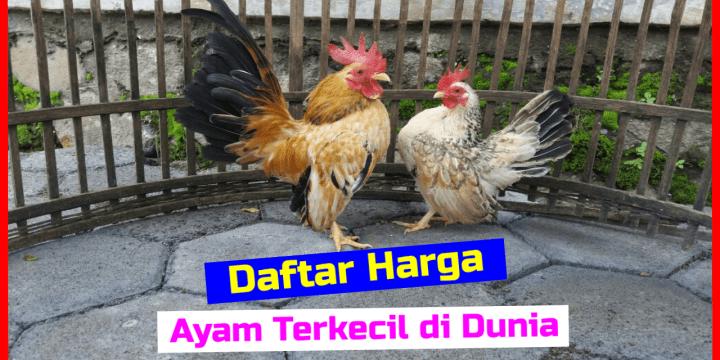 Terjangkau!!! Harga Ayam Serama Anakan sampai Dewasa