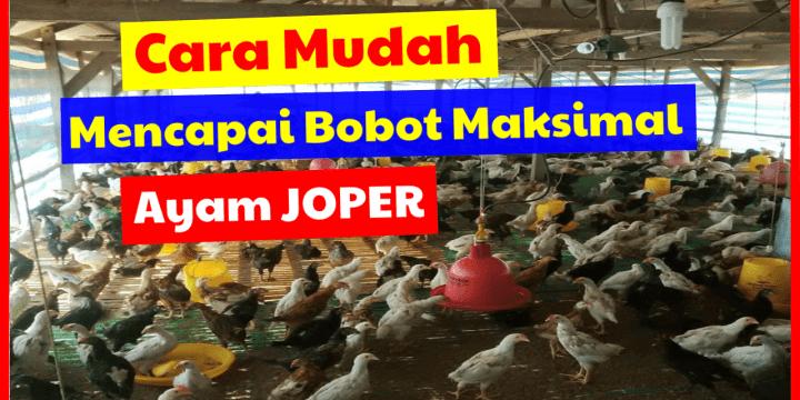 Cara Mudah Mencapai Target Bobot Maksimal Ayam Kampung Super
