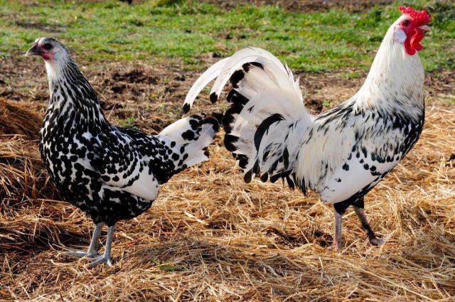 Ayam petelur hamburg dapat menghasilakan telur sekitar 200 butir per tahunnya. | Image 7