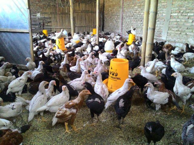 Ayam JOPER (Ayam Kampung Super) adalah persilangan dari ayam bangkok pejantan dengan petelur betina
