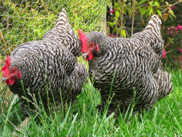 Jumlah produksi telur ayam plymouth rock dapat mencapai 200 butir per tahunnya. | Image 4
