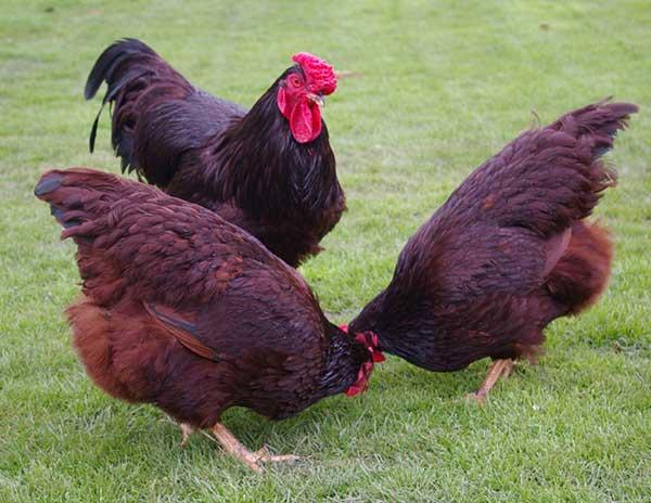 Ayam ini mampu memproduksi telur hingga 250 butir per ekornya.